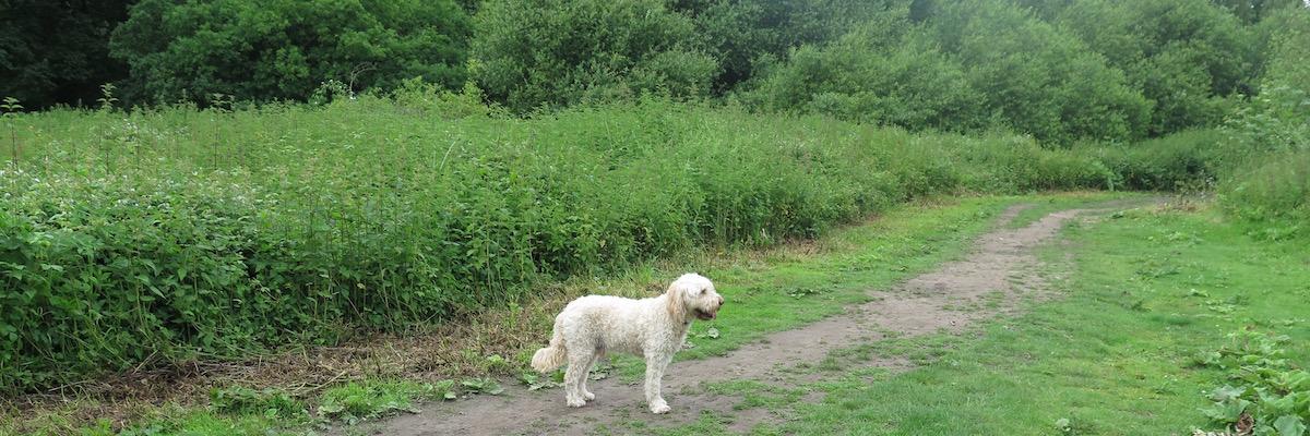 golden doodle dog walking